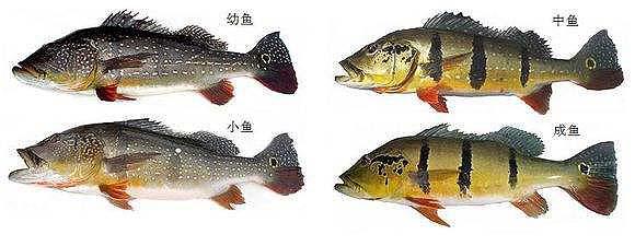 帝王三间鱼
