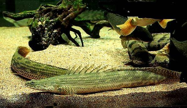 鳄鱼恐龙王鱼