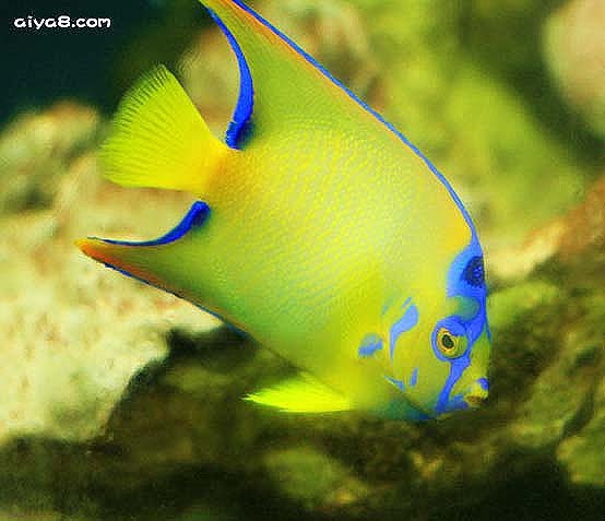 海水鱼图片