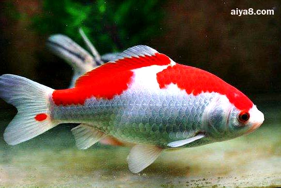 红白草金鱼