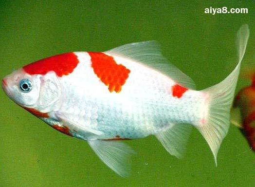 红白草金鱼图片
