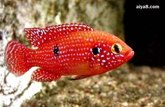 红宝石鱼怎么养