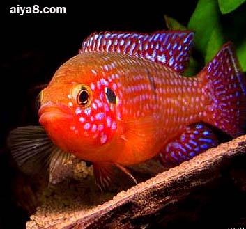 红宝石鱼图片