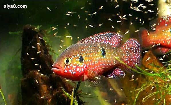 红宝石鱼繁殖图片