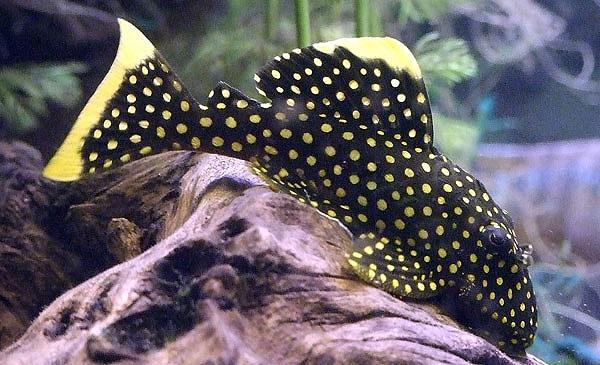 黄翅黄珍珠异型鱼