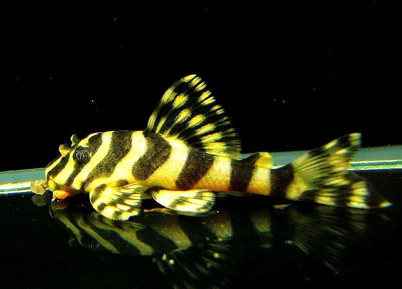 黄金斑马异型鱼