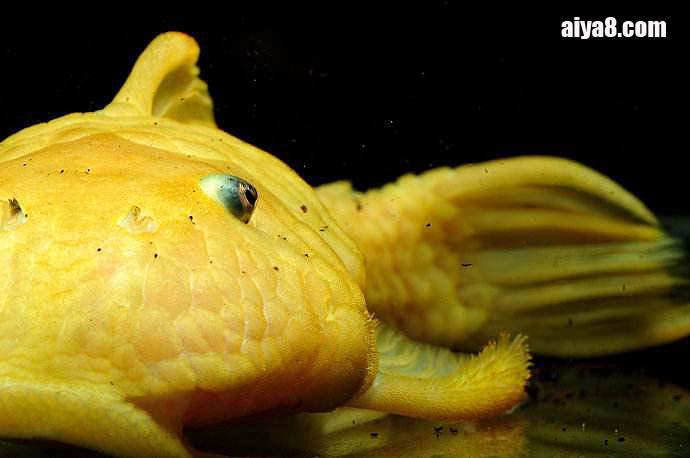 24k黄金达摩异型鱼怎么养