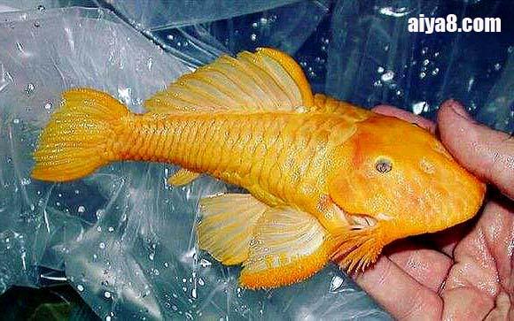 24k黄金达摩鱼