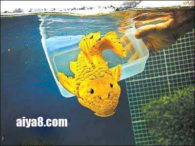 24k黄金达摩异型鱼