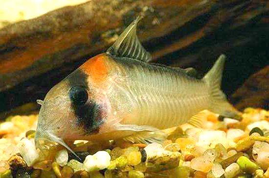 黑金红头鼠鱼