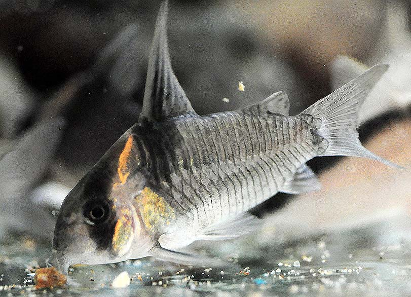 黑剑红头鼠鱼