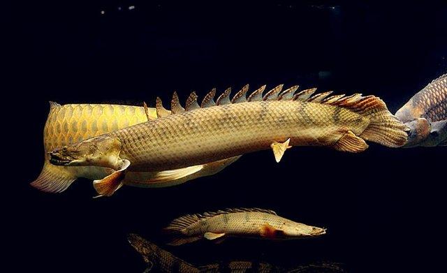黄金恐龙王鱼