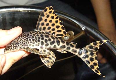 黄金美洲豹异型鱼
