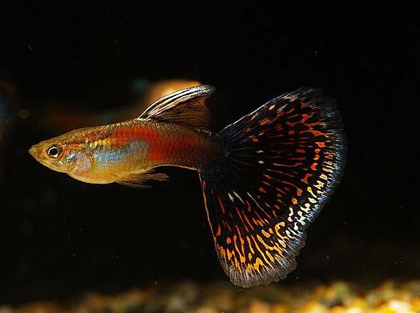 红马赛克孔雀鱼