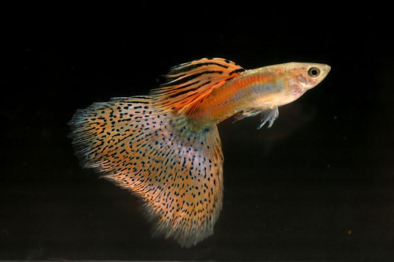 红草尾孔雀鱼