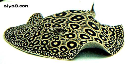 帝王�鱼图片