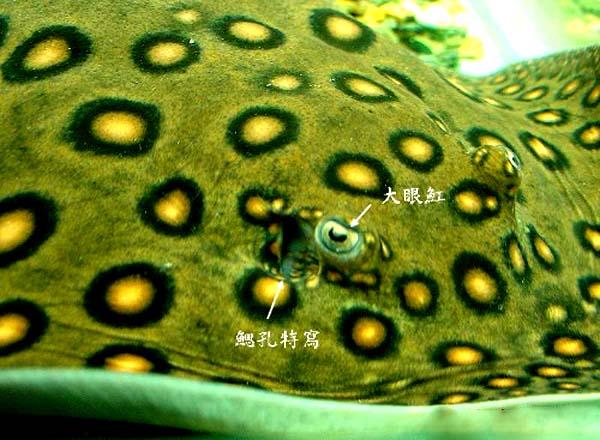 �鱼眼睛腮空图片
