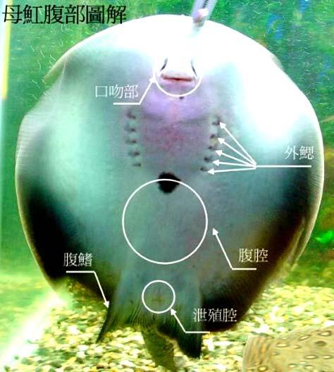 母�鱼腹部图片