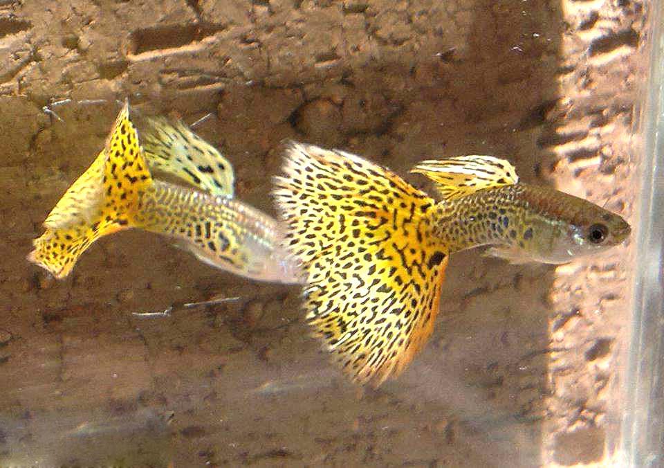 黄马赛克孔雀鱼