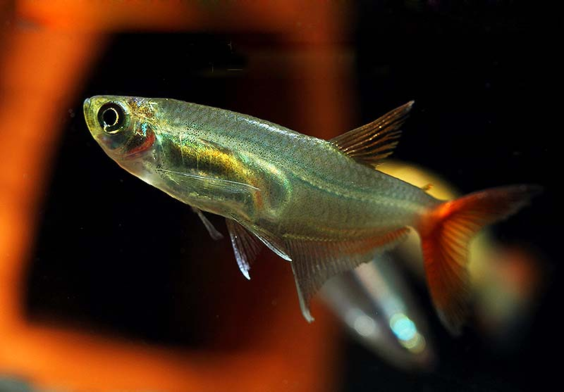 红尾玻璃灯鱼