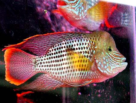 红尾皇冠鱼图片