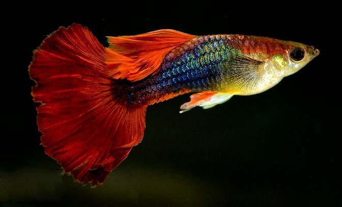 红尾礼服孔雀鱼怎么养