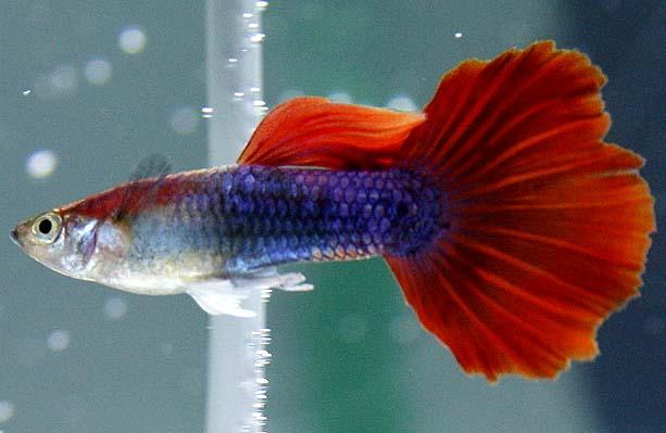 红尾礼服孔雀鱼