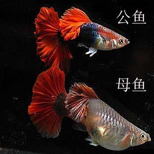 红尾礼服孔雀母鱼