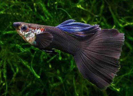 黑尾礼服孔雀鱼怎么养