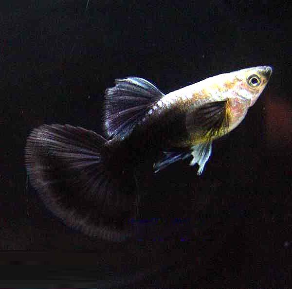 黑尾礼服孔雀鱼
