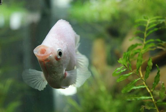 接吻鱼图片