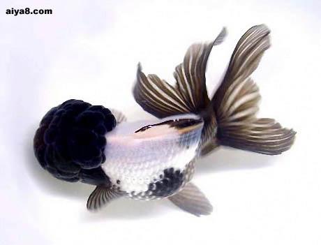 中国金鱼的养殖(一)