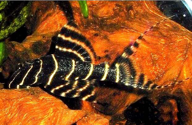 金线黑斑马异型鱼