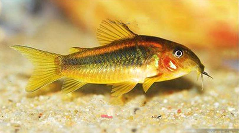 金线绿鼠鱼