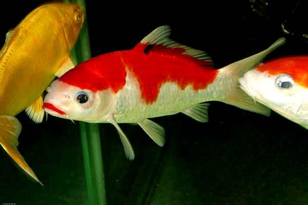 口红三色锦鲤