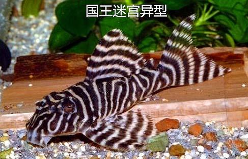 国王迷宫异型鱼