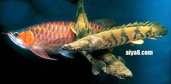 刚果恐龙王鱼