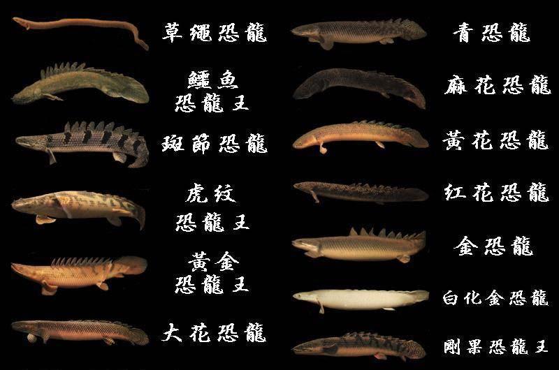 恐龙鱼品种图片