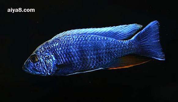 蓝阿里鱼图片
