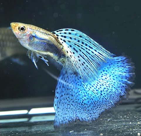 蓝草尾孔雀鱼