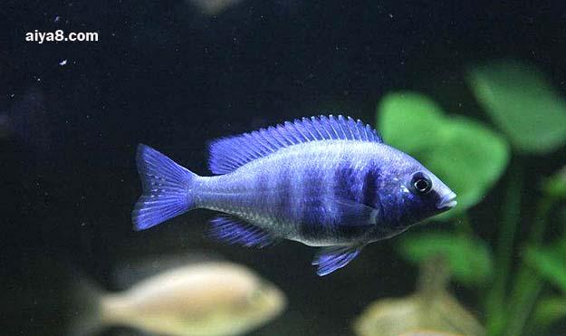 蓝宝石鱼图片