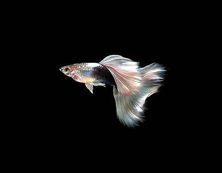 礼服孔雀鱼