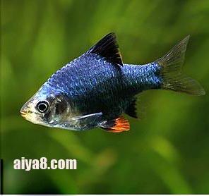 绿虎皮鱼怎么养