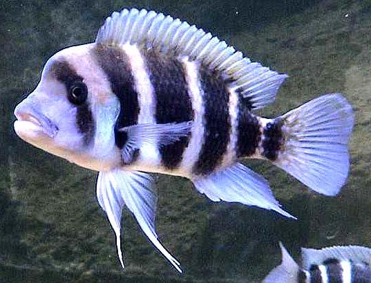 帝王六间鱼图片