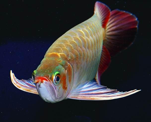 各种龙鱼的特点二
