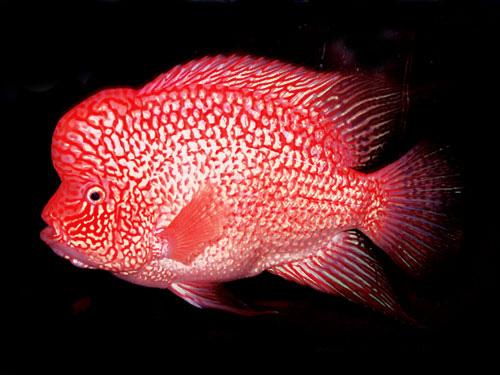 罗汉鱼图片
