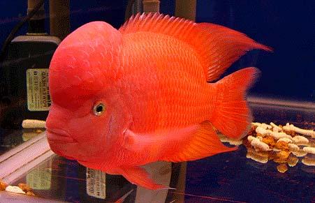 红马骝罗汉鱼养殖技巧