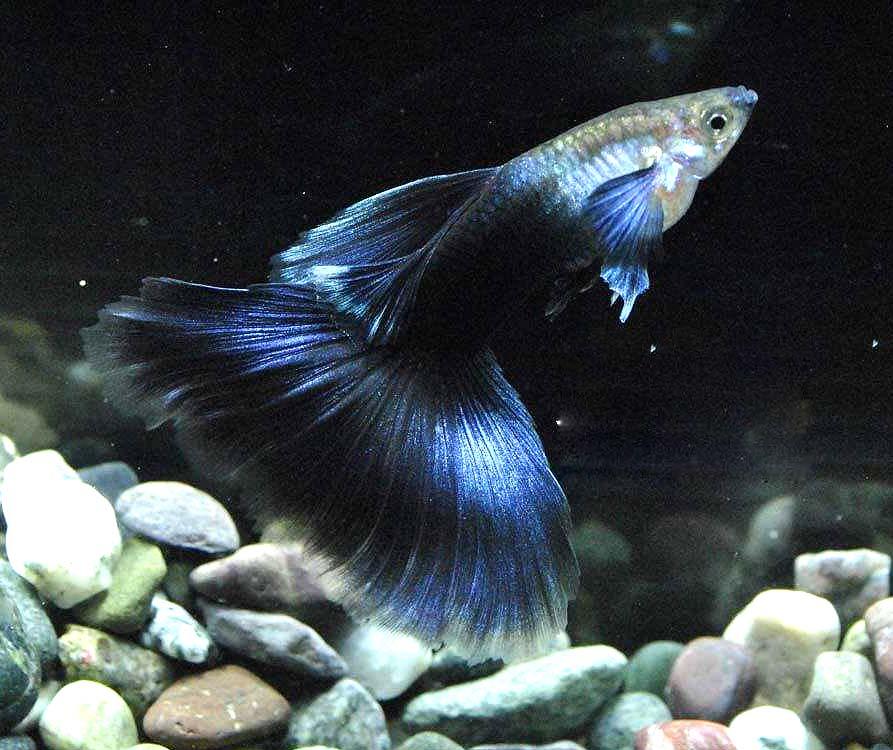 蓝礼服孔雀鱼