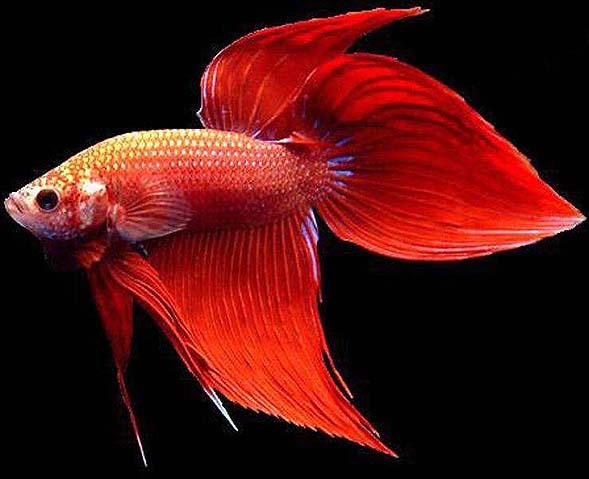 马尾斗鱼图片