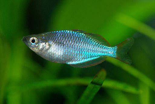 马达加斯加彩虹鱼